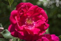 Τα τριαντάφυλλα, σύμβολο αγάπης roRoses, τριαντάφυλλα για την ημέρα της αγάπης, τα πιό θαυμάσια φυσικά τριαντάφυλλα κατάλληλα για Στοκ Φωτογραφία