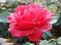 Τα τριαντάφυλλα, τα τριαντάφυλλα, κόκκινα τριαντάφυλλα, Α κόκκινο αυξήθηκαν, λουλούδι Στοκ εικόνα με δικαίωμα ελεύθερης χρήσης