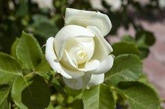 Τα τριαντάφυλλα, τριαντάφυλλα για την ημέρα της αγάπης, τα πιό θαυμάσια φυσικά τριαντάφυλλα κατάλληλα για τον Ιστό σχεδιάζουν, αγ Στοκ Εικόνες