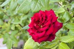 Τα τριαντάφυλλα, τριαντάφυλλα για την ημέρα της αγάπης, τα πιό θαυμάσια φυσικά τριαντάφυλλα κατάλληλα για τον Ιστό σχεδιάζουν, αγ Στοκ φωτογραφία με δικαίωμα ελεύθερης χρήσης