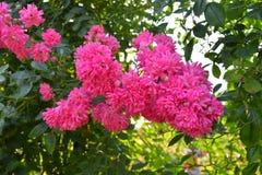 Τα τροπικά ρόδινα τριαντάφυλλα Rere κλείνουν επάνω σε μια φυτεία με τριανταφυλλιές Στοκ Εικόνες