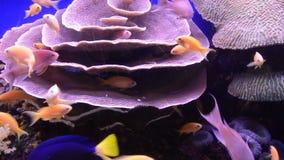 Τα τροπικά χρυσά ψάρια κολυμπούν στο κοράλλι σε Eilat, Ισραήλ απόθεμα βίντεο