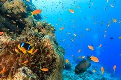 Τα τροπικά ψάρια και ένα clownfish κολυμπούν γύρω από μια κοραλλιογενή ύφαλο Στοκ φωτογραφία με δικαίωμα ελεύθερης χρήσης