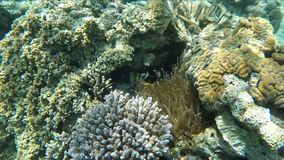 Τα τροπικά ψάρια κλόουν κολυμπούν γύρω από το anemone στην κοραλλιογενή ύφαλο απόθεμα βίντεο