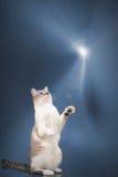 Τα λυγξ δείχνουν τη σιαμέζα γάτα στεμένος σε ένα επίκεντρο Στοκ εικόνα με δικαίωμα ελεύθερης χρήσης