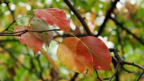 Τα υγρά ζωηρόχρωμα φύλλα κλείνουν επάνω στον κλαδίσκο στη βροχή φιλμ μικρού μήκους