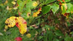 Τα υγρά κίτρινα και κόκκινα φύλλα του δέντρου αχλαδιών κλείνουν επάνω φιλμ μικρού μήκους