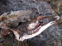 Τα υπολείμματα μιας άλκης που σκοτώνεται και που τρώεται από τους λύκους στοκ εικόνα