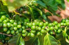Τα φασόλια καφέ αυξάνονται σε έναν κλάδο Στοκ εικόνα με δικαίωμα ελεύθερης χρήσης