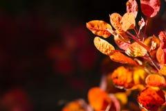 Τα φθινοπωρινά υπόβαθρα γνωρίζουν το κόκκινο φύλλωμα Στοκ Φωτογραφίες
