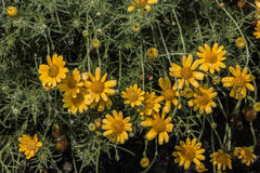 Τα φρέσκα κίτρινα λουλούδια στοκ φωτογραφία