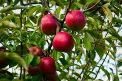 Τα φρέσκα οργανικά μήλα, οπωρώνας μήλων, σύνολο κήπων της Apple σχετικά με Στοκ Φωτογραφίες