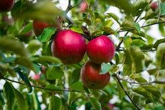 Τα φρέσκα οργανικά μήλα, οπωρώνας μήλων, σύνολο κήπων της Apple σχετικά με Στοκ εικόνα με δικαίωμα ελεύθερης χρήσης