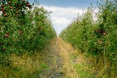 Τα φρέσκα οργανικά μήλα, οπωρώνας μήλων, σύνολο κήπων της Apple σχετικά με Στοκ Φωτογραφία