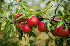 Τα φρέσκα οργανικά μήλα, οπωρώνας μήλων, σύνολο κήπων της Apple σχετικά με Στοκ φωτογραφία με δικαίωμα ελεύθερης χρήσης