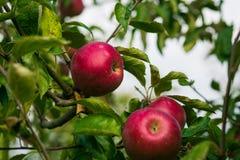 Τα φρέσκα οργανικά μήλα, οπωρώνας μήλων, σύνολο κήπων της Apple σχετικά με Στοκ εικόνες με δικαίωμα ελεύθερης χρήσης