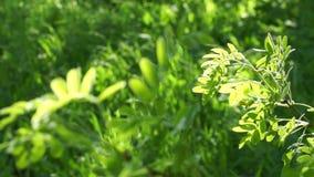 Τα φρέσκα πράσινα φύλλα ακακιών φωτίζουν τον ήλιο σε ένα πράσινο υπόβαθρο χλόης φιλμ μικρού μήκους