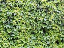 Τα φρέσκα πράσινα φύλλα ζουν φράκτης Στοκ Εικόνες