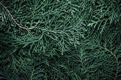 Τα φρέσκα πράσινα φύλλα πεύκων, ασιατικό Arborvitae, orienta Thuja Στοκ Εικόνα