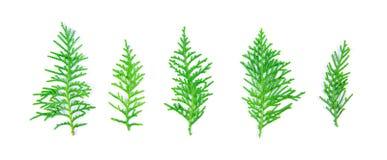 Τα φρέσκα πράσινα φύλλα πεύκων, ασιατικό Arborvitae, Thuja προσανατολίζουν Στοκ Εικόνα