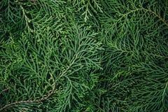 Τα φρέσκα πράσινα φύλλα πεύκων, ασιατικό Arborvitae, Thuja προσανατολίζουν Στοκ φωτογραφία με δικαίωμα ελεύθερης χρήσης