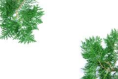 Τα φρέσκα πράσινα φύλλα πεύκων, το ασιατικό Arborvitae, Thuja προσανατολίζουν Στοκ εικόνες με δικαίωμα ελεύθερης χρήσης
