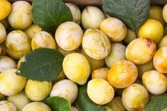 Κίτρινα δαμάσκηνα με τα πράσινα φύλλα Φρέσκα ώριμα φρούτα στοκ εικόνα με δικαίωμα ελεύθερης χρήσης