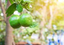 Τα φρούτα ασβέστη στο δέντρο λεμονιών έχουν μια πράσινη σφαίρα Στοκ Εικόνες