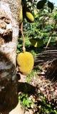 Τα φρούτα γρύλων στα δέντρα στη νότια Ινδία Στοκ Εικόνες