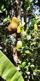 Τα φρούτα γρύλων στα δέντρα στη νότια Ινδία Στοκ Φωτογραφία