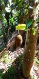 Τα φρούτα γρύλων στα δέντρα στη νότια Ινδία Στοκ Φωτογραφίες