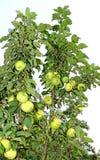 Τα φρούτα είναι μήλα στους κλάδους ενός Apple-δέντρου στηλών Στοκ φωτογραφία με δικαίωμα ελεύθερης χρήσης