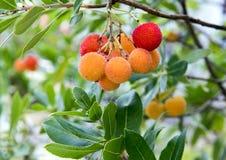Τα φρούτα ενός δέντρου φραουλών, Arbutus Unedo, στη νότια Ιταλία Στοκ Φωτογραφία