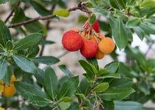 Τα φρούτα ενός δέντρου φραουλών, Arbutus Unedo, στη νότια Ιταλία Στοκ Εικόνες