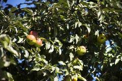 Τα φρούτα μήλων στο δέντρο μηλιάς καλλιεργούν δημόσια κοντά στο κάστρο της Πράγας Στοκ Εικόνες