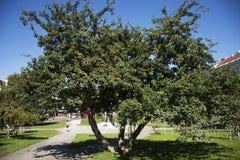 Τα φρούτα μήλων στο δέντρο μηλιάς καλλιεργούν δημόσια κοντά στο κάστρο της Πράγας Στοκ εικόνα με δικαίωμα ελεύθερης χρήσης