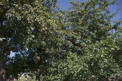 Τα φρούτα μήλων στο δέντρο μηλιάς καλλιεργούν δημόσια κοντά στο κάστρο της Πράγας Στοκ Φωτογραφίες