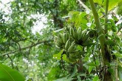 Τα φρούτα μπανανών στο δέντρο, από το δέντρο μπανανών δεν είναι ισχυρά Στοκ φωτογραφία με δικαίωμα ελεύθερης χρήσης