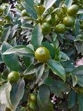 Τα φρούτα του κουμκουάτ Στοκ φωτογραφίες με δικαίωμα ελεύθερης χρήσης