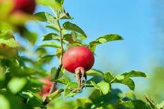 Τα φρούτα των άγρια περιοχών αυξήθηκαν στο υπόβαθρο του μπλε ουρανού στοκ φωτογραφίες