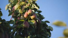 Τα φρούτα των αχλαδιών σε έναν κλάδο οπωρωφόρων δέντρων στο ηλιοβασίλεμα στο υπόβαθρο μπλε ουρανού απόθεμα βίντεο