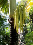 Τα φρούτα areca φοινίκων Μια εργασία της βοτανικής στοκ φωτογραφίες με δικαίωμα ελεύθερης χρήσης