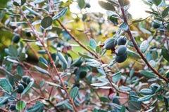 Τα φρούτα Feijoa είναι ώριμα και κρεμούν στο Μπους στοκ εικόνα με δικαίωμα ελεύθερης χρήσης
