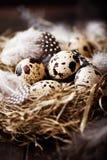 τα φτερά αυγών Πάσχας τοποθετούνται τις νησοπέρδικες s Στοκ Εικόνες
