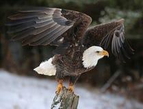 Τα φτερά διαδίδουν το φαλακρό αετό Στοκ φωτογραφίες με δικαίωμα ελεύθερης χρήσης