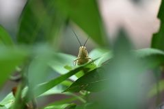 Τα φτερωτά και καφετιά έντομα καλούνται ξύλινα grasshoppers στοκ φωτογραφία με δικαίωμα ελεύθερης χρήσης
