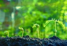 Τα φυτά σπόρου αυξάνονται Αυξάνονται βαθμιαία στοκ φωτογραφία με δικαίωμα ελεύθερης χρήσης