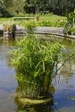 Τα φυτά Cyperus αυξάνονται στη λίμνη Στοκ φωτογραφίες με δικαίωμα ελεύθερης χρήσης