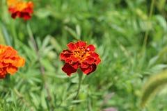 Τα φωτεινά κόκκινα λουλούδια αυξάνονται στον τομέα Στοκ Εικόνες