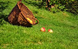 Τα φωτεινά κόκκινα μήλα βρίσκονται στον πράσινο χορτοτάπητα στο θερινό κήπο κοντά στα ψάθινα καλάθια στοκ εικόνα με δικαίωμα ελεύθερης χρήσης